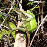 Lizard Love at Hedonisia