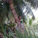 Mojo Coconut Tree