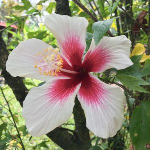 Hawaiian hibiscus flower in Puna jungle