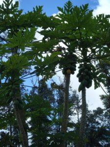 Hedonisia-papayas